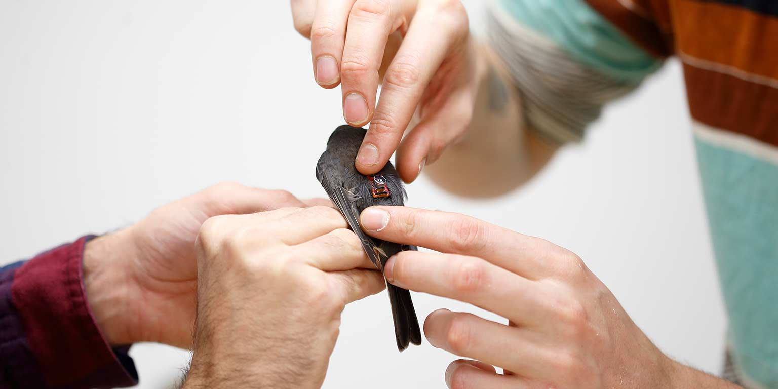 A close-up of two researchers' hands as they put a device on a bird's back.